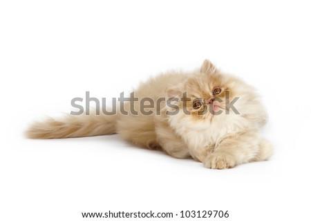 Persian kitten on a white background - stock photo