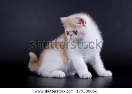 Persian kitten on black background - stock photo