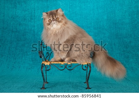 Persian kitten on chair on teal background