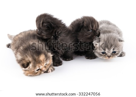 Persian kittens isolated on a white background