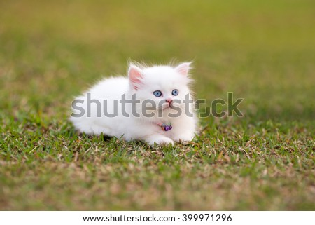 Persian kittens white color
