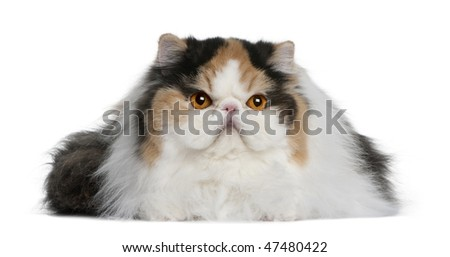 Persian (1 year old) in front of a white background