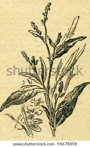 """Persicaria maculosa - Redshank, also called Persicaria, Redleg, Lady's-thumb, Spotted Ladysthumb, Gambetta,  - an illustration from the book """"In the wake of Robinson Crusoe"""", Moscow, USSR, 1946 - stock photo"""