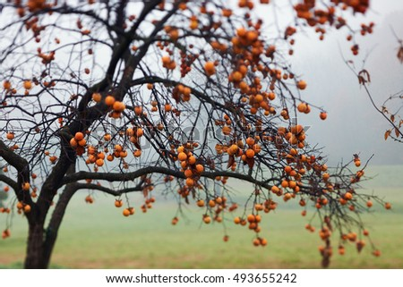 persimmon tree full of fruit photographed in autumn, with intentional blur