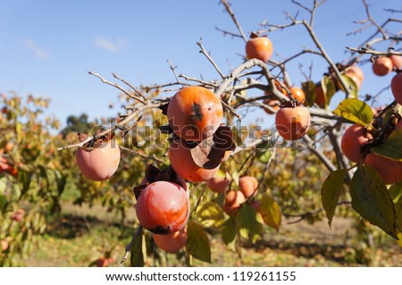 Persimmon tree with mature fruits, Spain