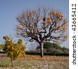 Persimmon tree with mature orange fruits, Tuscany (and small willow-leafed pear ) - stock photo