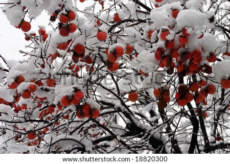 Persimmon tree with snow - stock photo