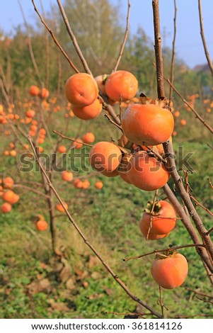 Persimmon trees, sharon fruits in a orchard - stock photo