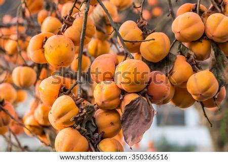 Persimmons at fruit garden - stock photo