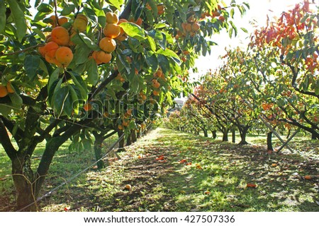 Persimmons growing in a persimmon orchard, on a sunny day. - stock photo