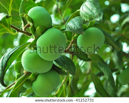 Persimmons growing on the tree. Green, unripe. - stock photo
