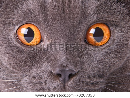 Person the British cat with amazed look