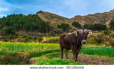 Peruvian bull portrait with the animal looking at the camera with blue sky and deep green nature and mountains in the background