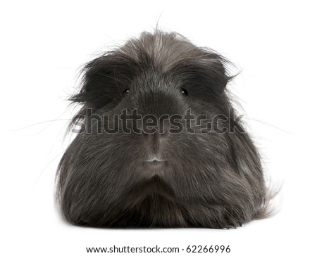 Peruvian guinea pig, Cavia porcellus, lying in front of white background - stock photo