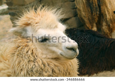 Peruvian llama close-up. full head shoot. Animal