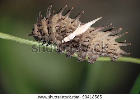 pest insect butterfly caterpillar bug - stock photo