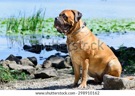 Pet bullmastiff dog sitting near the river