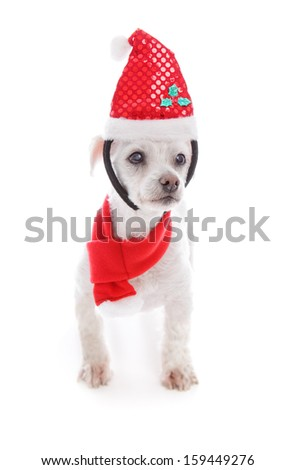 Pet dog wearing a Christmas santa hat headband and red and white scarf.  White background. - stock photo