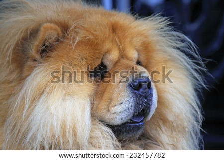 Pet dogs - chow chow, closeup of photo
