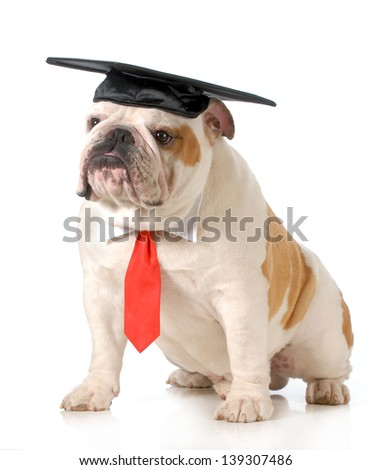 pet graduation - english bulldog wearing graduation cap and red tie sitting on white background - one year old - stock photo