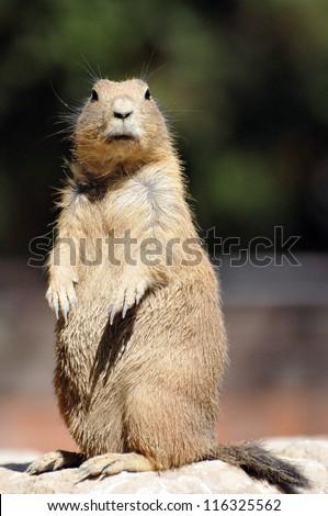 pet prairie dog - stock photo