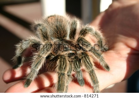 Pet Tarantula - stock photo