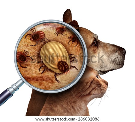 Pet Tick as a group of dog and cat ticks in the fur as a close up magnification of a female parasite engorged with blood from the host as a veterinary health care symbol for disease insect pests. - stock photo