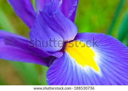 iris flower stock images, royaltyfree images  vectors  shutterstock, Natural flower