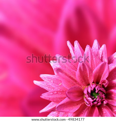 petal of the dahlia - stock photo