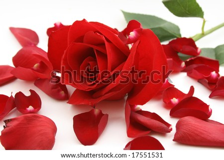 petals and rose isolated