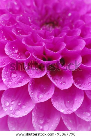 petals of a flower with drops - stock photo