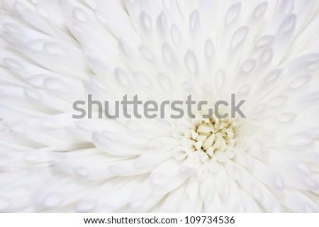 Petals of a white chrysanthemum flower. - stock photo