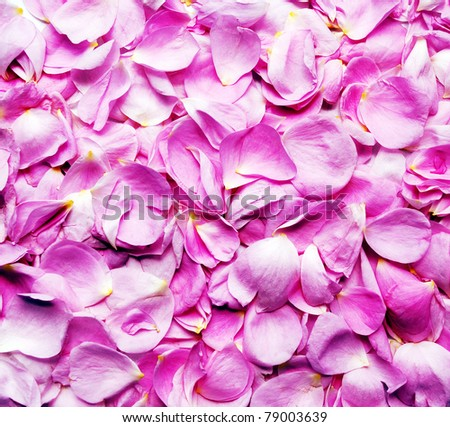 petals pink roses  background