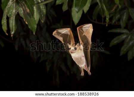 Peter's dwarf epauletted fruit bat (Micropteropus pussilus) flying at night (Ghana) - stock photo