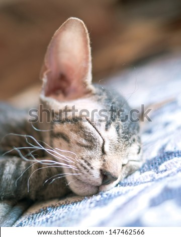 Peterbold sphinx cat sleeping at home - stock photo
