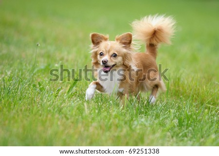 petite Chihuahua runs happily on a cloudy day above the meadow - stock photo