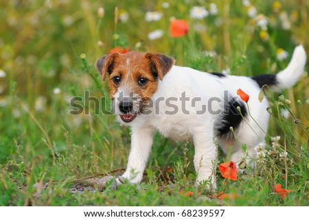petite Jack Russell Terrier puppy 11 weeks in the grass discovers the world - stock photo