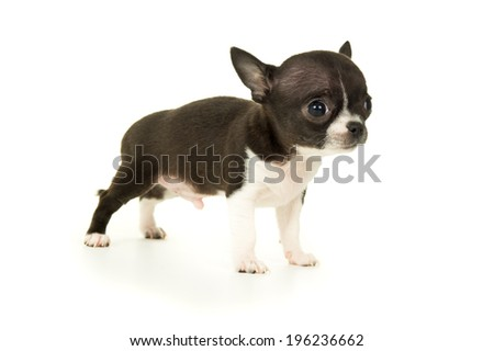 Pets allowed chihuahua puppy - stock photo