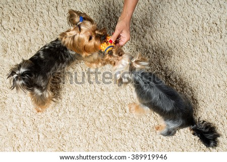 Pets. Yorkshire terriers are playing with a toy in the room - stock photo