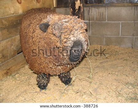 Petting Zoo Sheep - stock photo