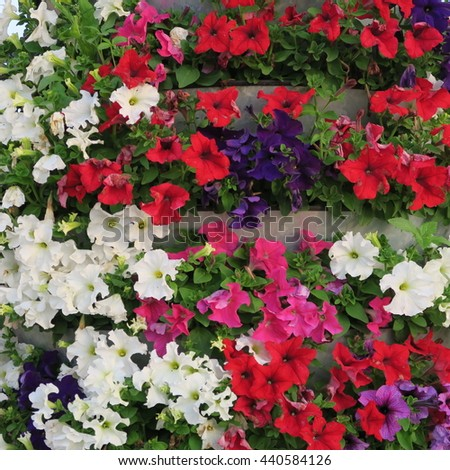 Petunia, colorful summer flower