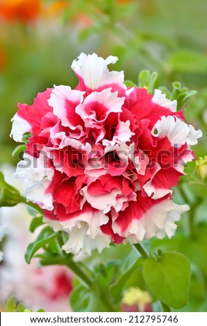 Petunia flower in garden, close up view - stock photo