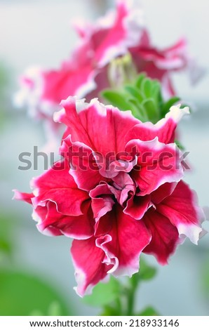 Petunia flower in garden, close up view, soft focus - stock photo
