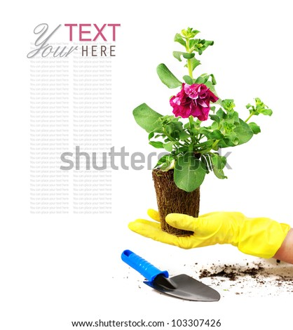 Petunia flower with roots in hand protected rubber gloves - stock photo