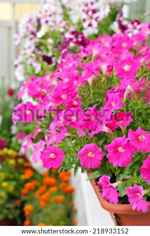 Petunia flowers in flower pot on balcony,selective focus - stock photo