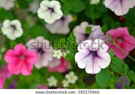 Petunia flowers, selective focus, background - stock photo