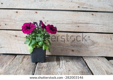 Petunia on pot on a wooden background