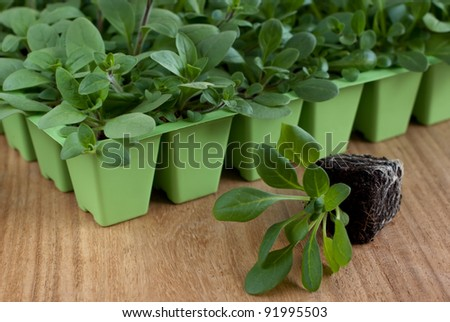 Petunia pendula seedlings in the cell tray (selective focus) - stock photo
