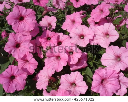 Petunia pink large flowering plants cover.