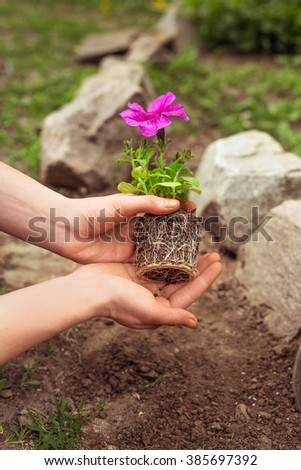 petunia seedling with closed root system in the hands of man - stock photo